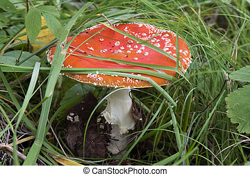 Fly agaric - Poisonous mushroom a red fly agaric