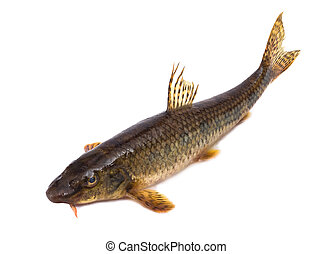 Gudgeon - The gudgeon a fresh-water fish, it is isolated on...