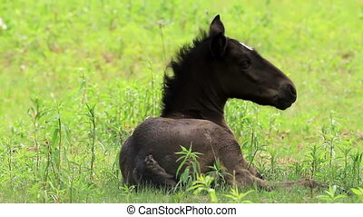 Horse foal - Young horse foal