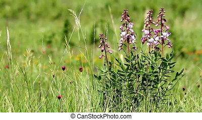 Wild flowers - Beautiful flowers in the wind (Dictamnus...
