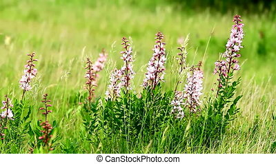 Wild flowers - Beautiful flowers in the wind Dictamnus albus...