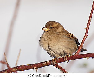 Immature sparrow and winter time