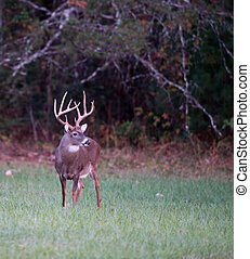 Large whitetail deer - Large whitetailed deer feeding in an...