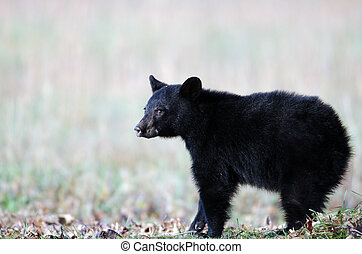 Black bear cub in Smoky Mountain National Park