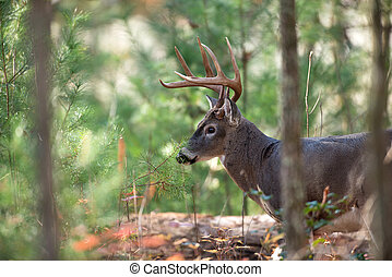 Large whitetail deer - Large whitetailed deer walking...