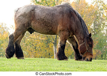 Flemish draft horse eating some grass