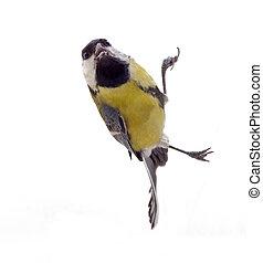 Tomtit bird, isolated on white background