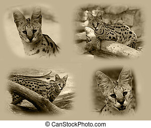 Serval African Wild Cat - Sepia Serval African Wild Cat...