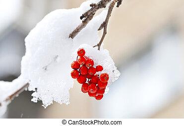 Frozen red ashberry under snow