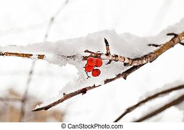 Red berries of rowan tree under snow