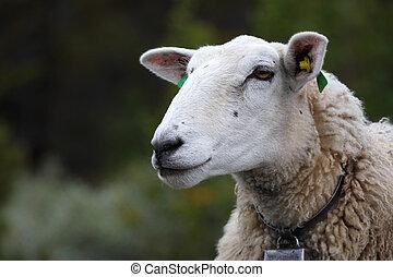 ewe with lamb close-up