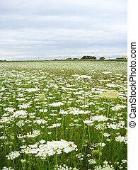 summer landscape with field of white flowers