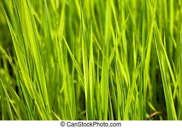 Green grass - A close up green grass