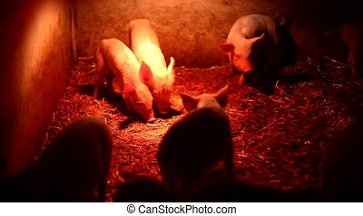 Piglets under the infrared lamp - Newborn pigs huddle...