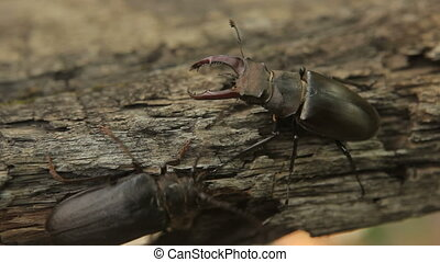 Two beetles - The meeting of two beetles High Definition...