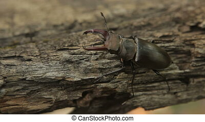 Stag beetle on a tree Male stag beetle High Definition Video...