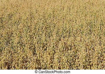 Oat Field Background