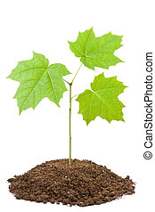 Green sapling of young maple Isolated on a white
