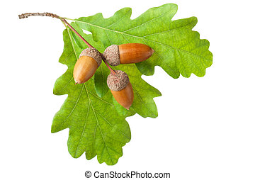 Oak twig with leaves and acorns Isolated on a white