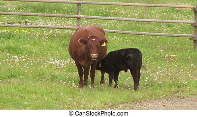 Mother Cow and Calf - Cow and calf in a green summer pasture