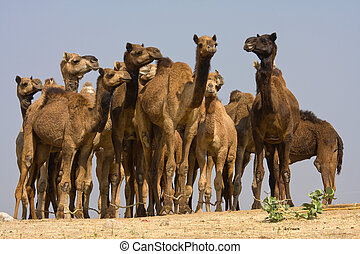 Camels at the Pushkar Fair, Rajasthan, India - Camel at the...