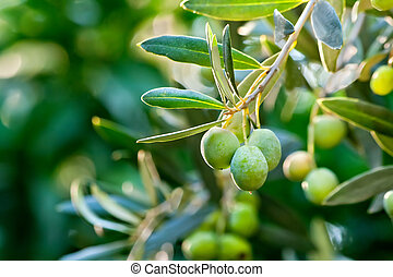 Olives On Itrsquo;s Tree Branch - Young Olive On A Branch