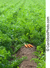 Carrots are ready to harvest - Carrot field with harvest of...