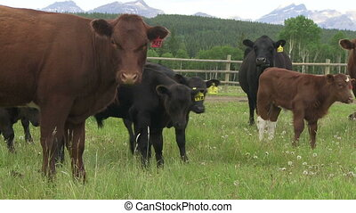 Cows and Calves - Group of cows in a green summer pasture