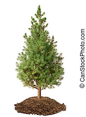 Young Spruce Picea glauca Conica Isolated on a white