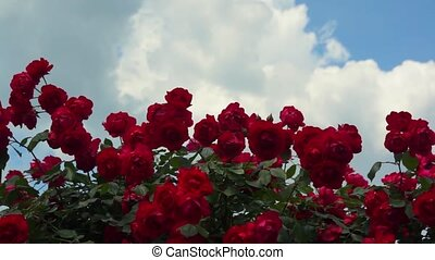 Red Roses Flowers 006 - Red roses bush against blue sky with...