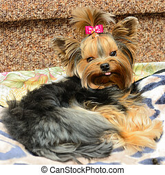 small dog - cute yorkshire terrier on the sofa