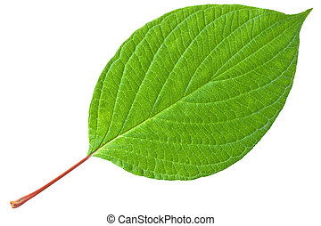 Green leaf with red stem
