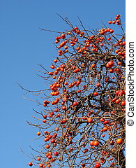 a lot of fruit ripe persimmon tree - This is a photo of a...