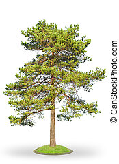 Scotch fir on white - Scots Pine (Pinus sylvestris) isolated...