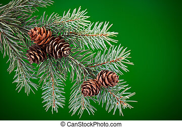 Branch of Blue Spruce with cones