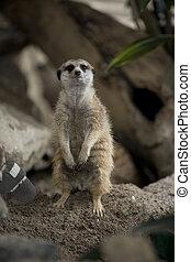 meerkat in a zoo