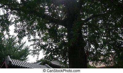 stout rough ginkgo tree trunks Chinese ancient...