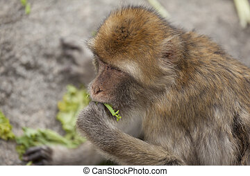 monkey munching on veggies - Monkey munching on veggies...