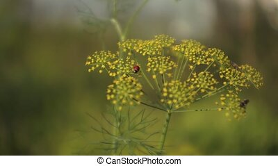 Dill Flower 001 - Dill flower with bugs swinging on the...