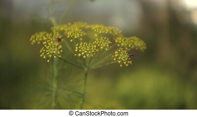 Dill Flower 002 - Dill flower with bugs swinging on the...
