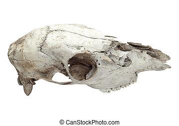 馬, 古い, 頭骨