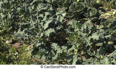 Broccoli 002 - Broccoli growing at bio farm.