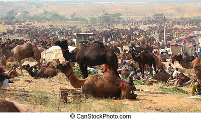 Pushkar Camel Fair - group of camels during festival