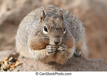 Squirrel (Sciuridae) - Squirrel (Spermophilus beecheyi)