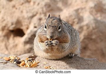 Squirrel (Sciuridae) - Squirrel (Spermophilus beecheyi)