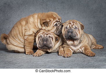 Shar-Pei puppies - One month old Shar-Pei puppies against...
