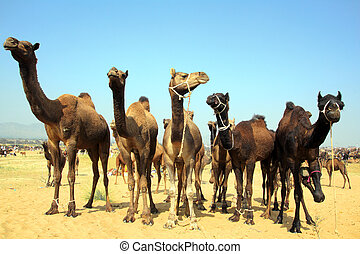 group of camels during festival in Pushkar - Pushkar Camel...