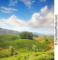 mountain tea plantation in India - mountain tea plantation...