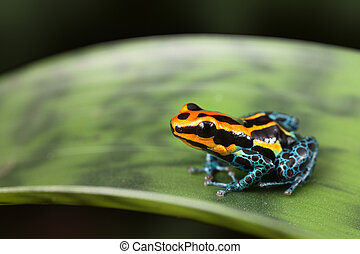 poison dart frog - frog Amazon rainforest Peru, poison dart...