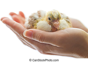 Newborn chicken in woman hands isolated on white